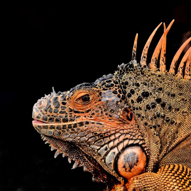 """""""Orange iguana"""" stock image"""