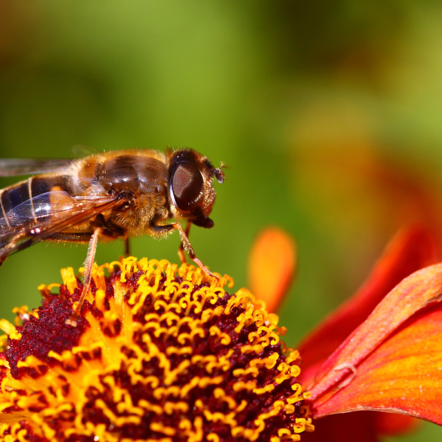 """Hover fly pollinating a rudbeckia flower"" stock image"