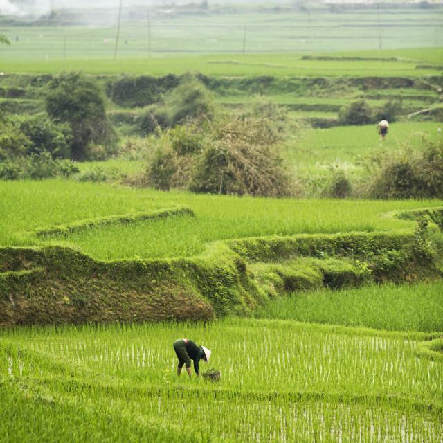 """Vietnamese Rice Fields"" stock image"