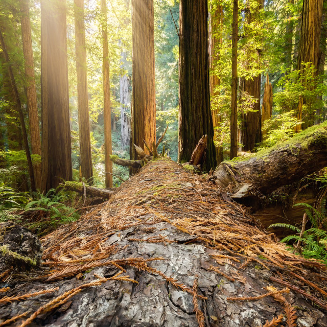 """Fallen Redwood Tree in Northern California Forest"" stock image"