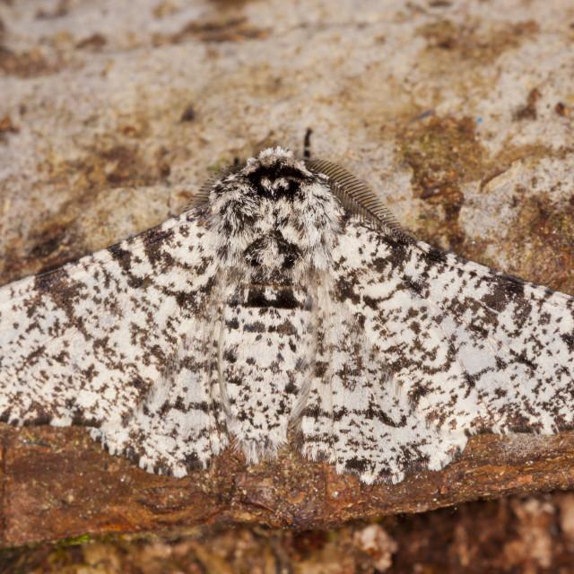 """Peppered moth (Biston betularia)"" stock image"