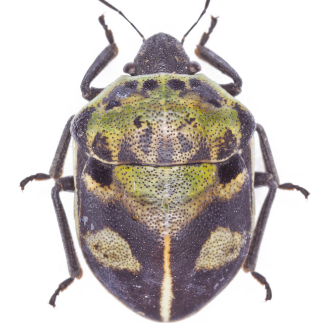 """""""Deroplax silphoides shieldbug"""" stock image"""