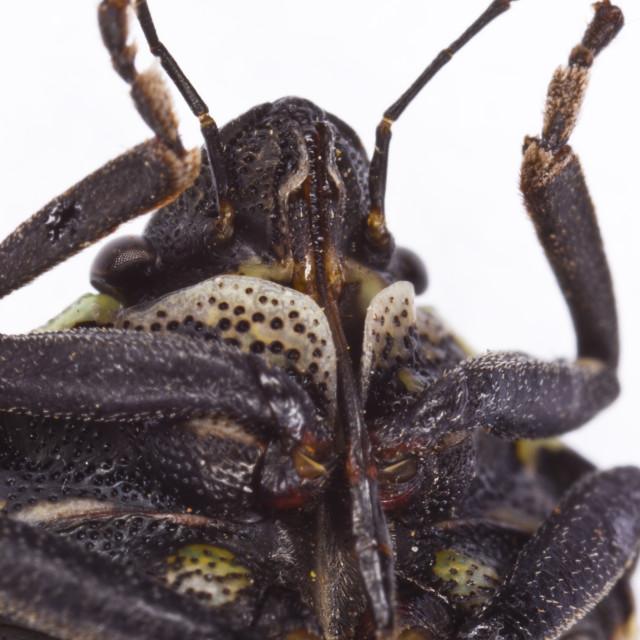 """Rostrum of Deroplax silphoides bug"" stock image"