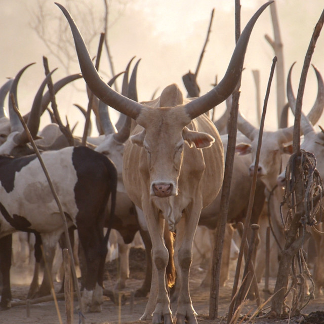 """""""South Sudan - Cattle at sunset"""" stock image"""