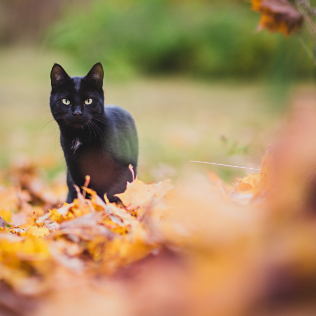 """Black Cat"" stock image"
