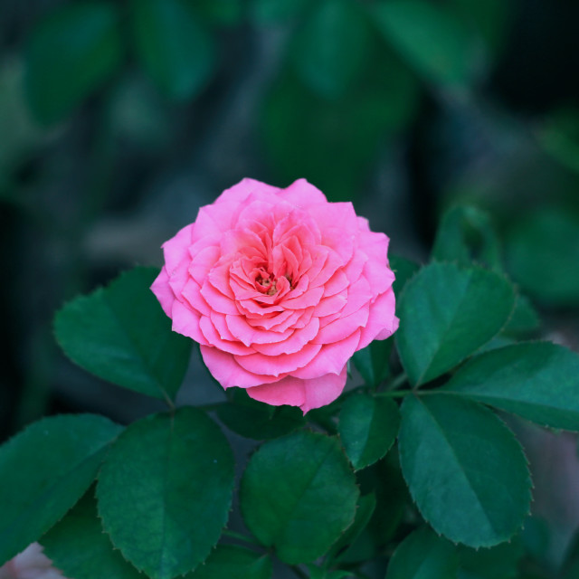 """pink flower 