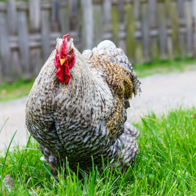 """Cochin chicken on green grass looking at camera"" stock image"