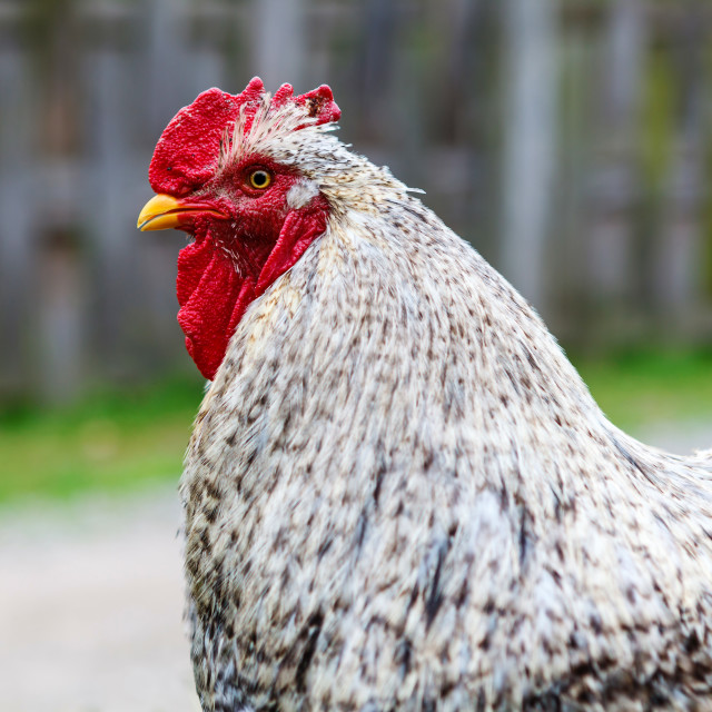 """Cochin chicken"" stock image"