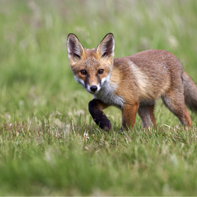 """Fox Cub"" stock image"