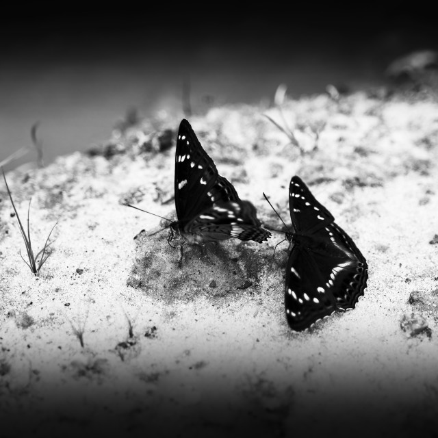 """""""Horizontal two black and white butterflies on sand bokeh backgro"""" stock image"""