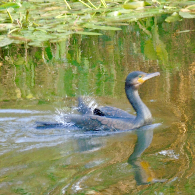 """""""Rare bird on the canal"""" stock image"""