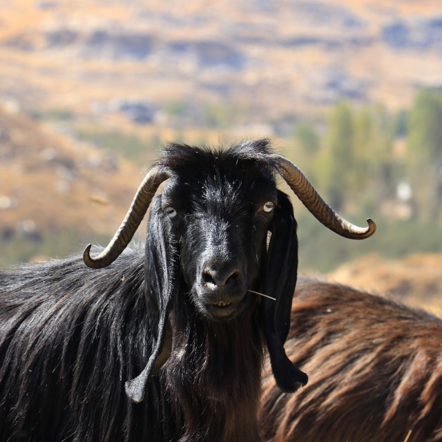 """Goat Posing"" stock image"