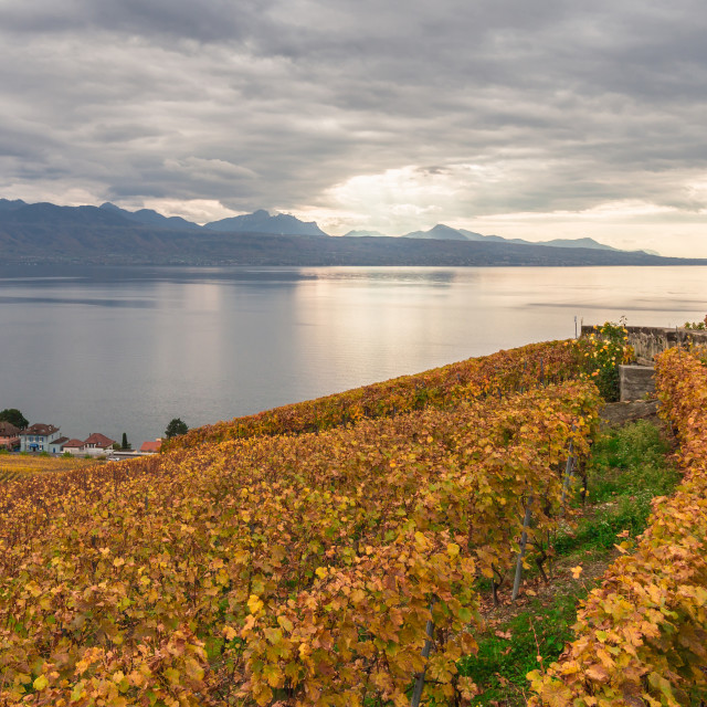 """""""Vineyards in Lavaux region, near the Lausanne city, canton Vaud, Switzerland. Panoramic view on the lake Leman at the cloudy day."""" stock image"""