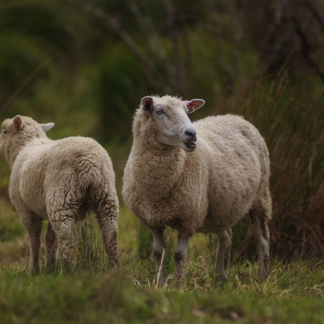 """New Zealand Sheep"" stock image"
