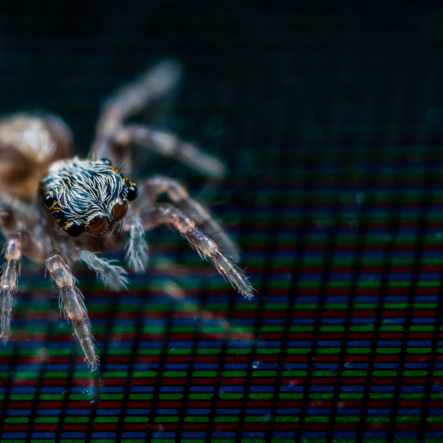 """Jumping Spider on a Laptop Screen"" stock image"