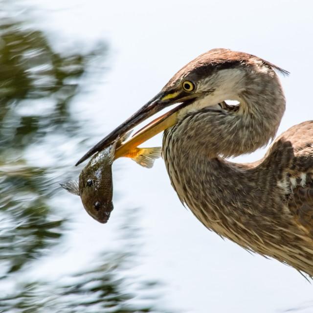 """Heron holding it's catch"" stock image"