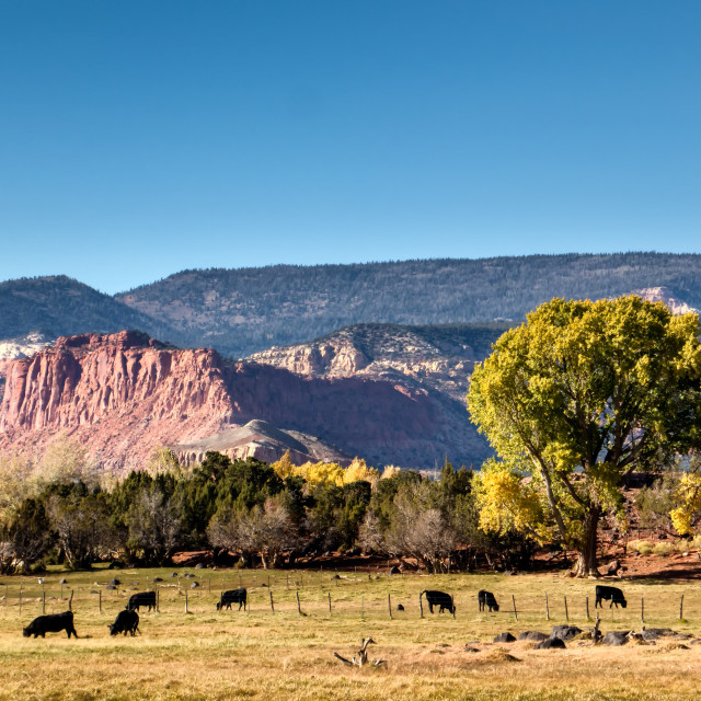 """Farm with cattle in Torrey, Utah"" stock image"