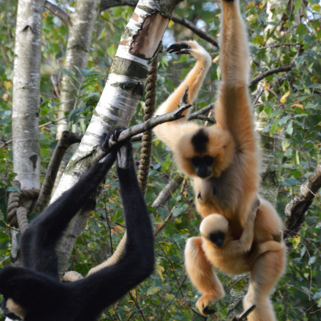 """""""Golden Cheeked Gibbons"""" stock image"""