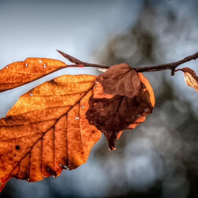 """""""Back Lit Leaves"""" stock image"""
