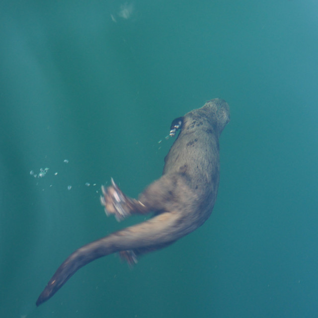 """The Diving Beaver"" stock image"
