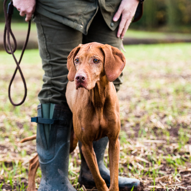 """""""gun dog and its owner on a game shoot"""" stock image"""