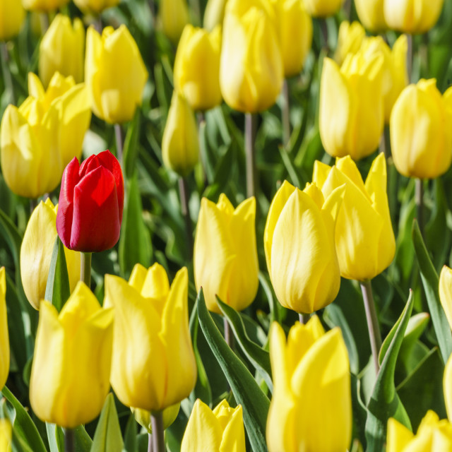 """Red tulip in a yellow tulips field. Yersekendam, Zeeland province, Netherlands."" stock image"