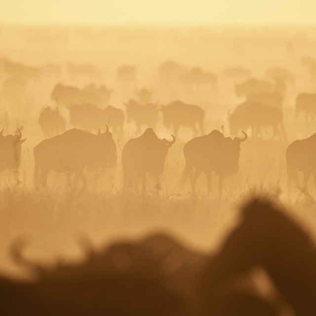 """The Migration, Blue Wildebeest (Connochaetes taurinus) and Common Zebra..."" stock image"