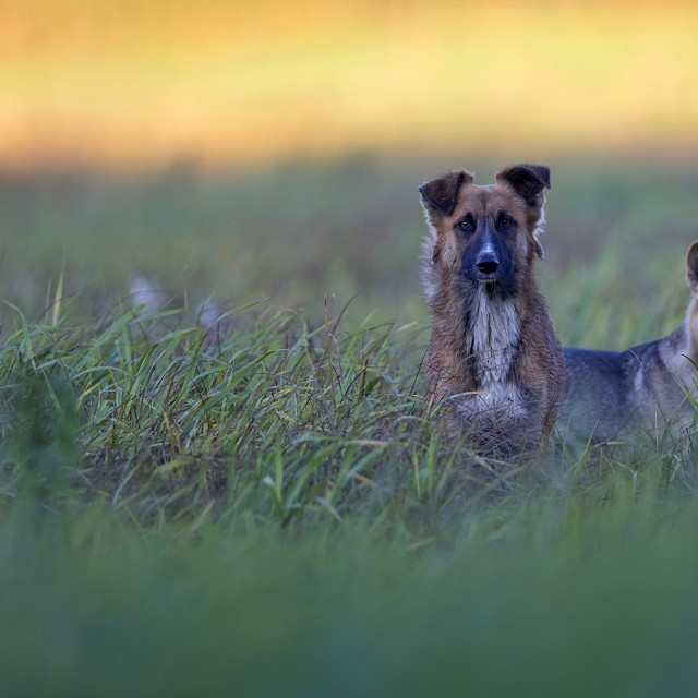 """Two dogs in a clearing"" stock image"