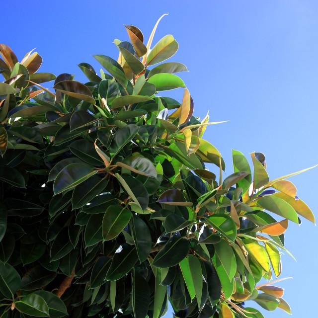 """Rubber fig, leaves, Ficus elastica"" stock image"