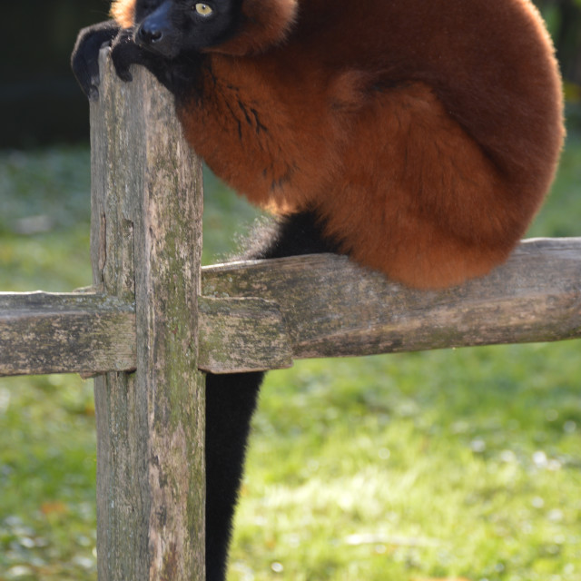 """""""A Red-Ruffed Lemur sitting on a fence."""" stock image"""