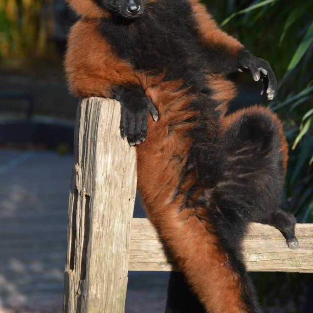 """A Lazy Red-Ruffed Lemur"" stock image"
