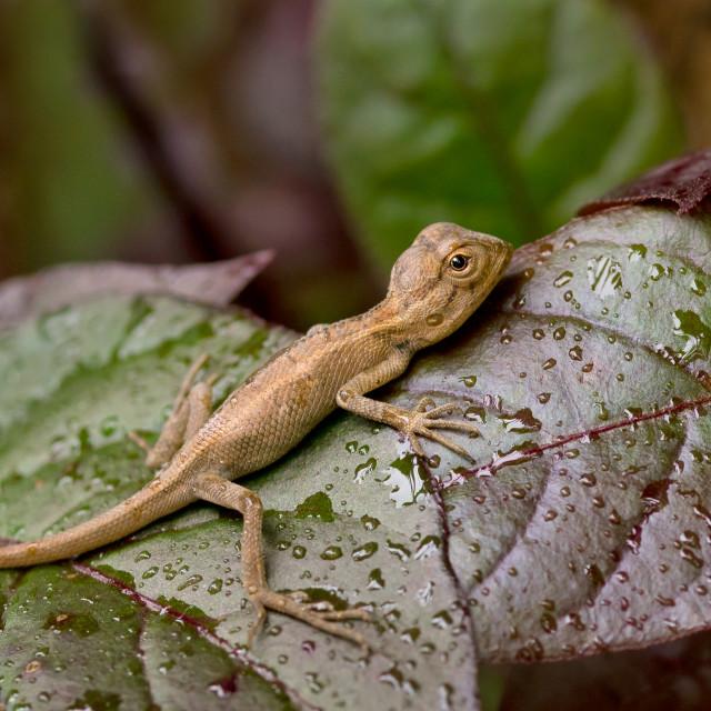 """""""Baby lizard"""" stock image"""