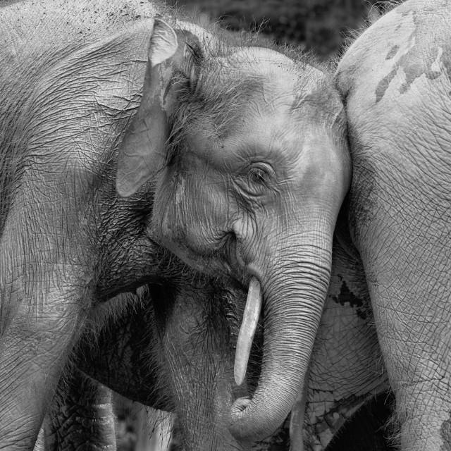"""""""Pigmy elephant"""" stock image"""