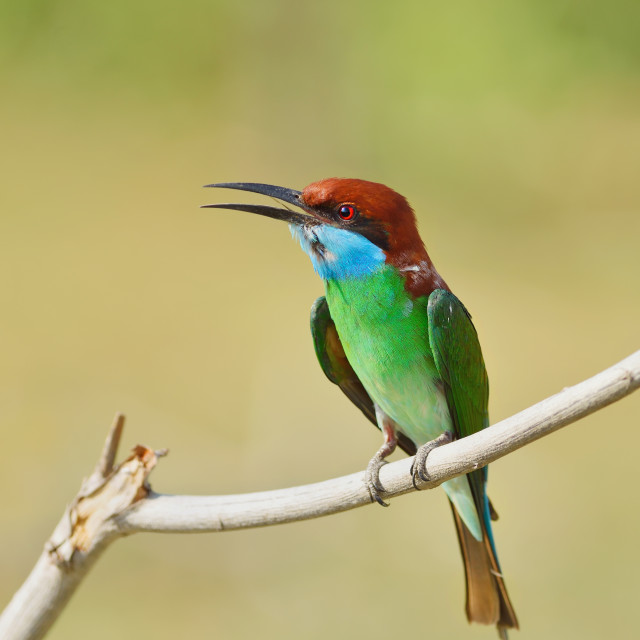 """""""Blue Throated Bee Eater"""" stock image"""