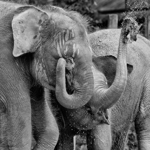 """""""Pigmy elephants"""" stock image"""