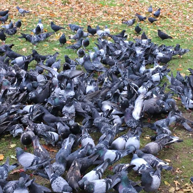 """Kraków Pigeons"" stock image"