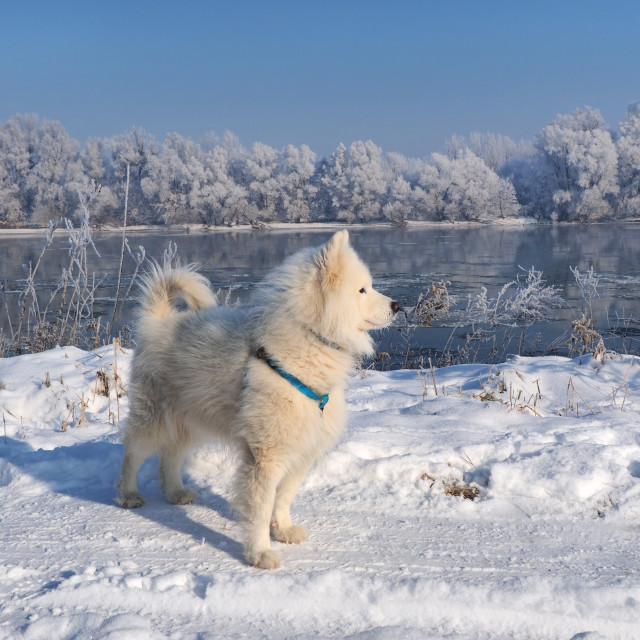 """husky on the frozen river"" stock image"