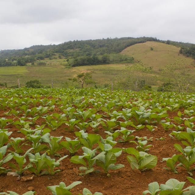 """Tobacco plants in Vinales - Cuba"" stock image"