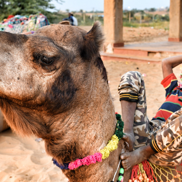 """""""A young boy relaxing with his csme, at Pushkar"""" stock image"""