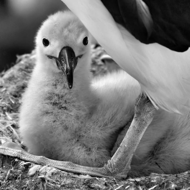 """Baby albatross"" stock image"