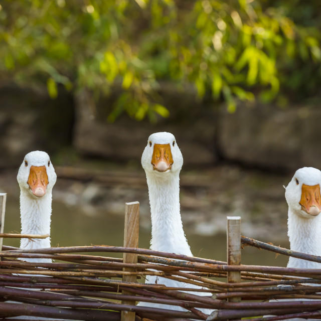 """Three funny white geese"" stock image"