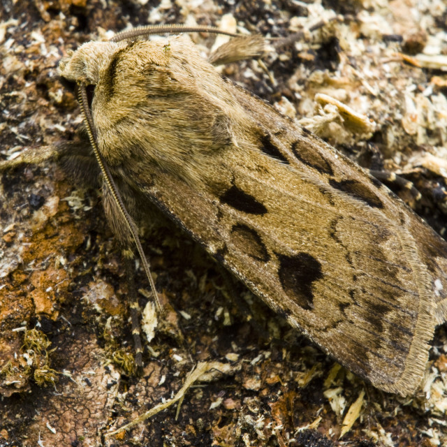"""""""Heart and Dart (Agrotis exclamationis)"""" stock image"""
