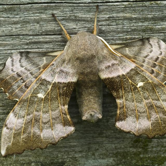 """Poplar Hawk-moth (Laothoe populi)"" stock image"