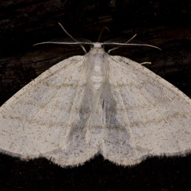"""Common White Wave (Cabera pusaria)"" stock image"