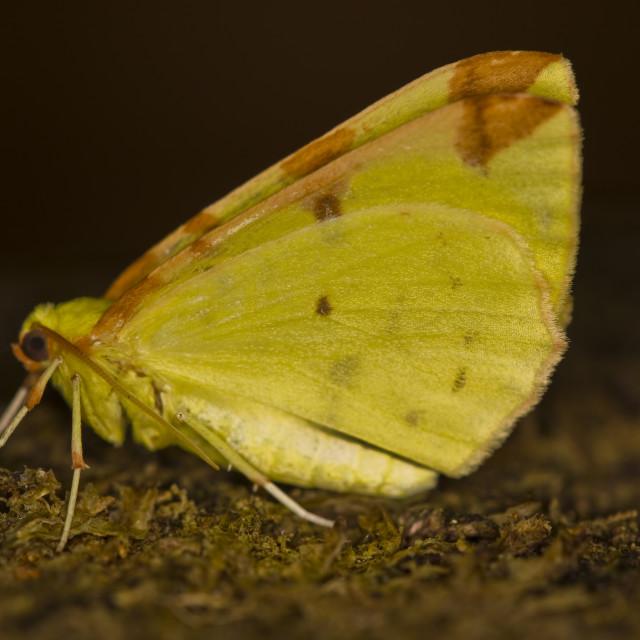 """Brimstone moth (Opisthograptis luteolata)"" stock image"