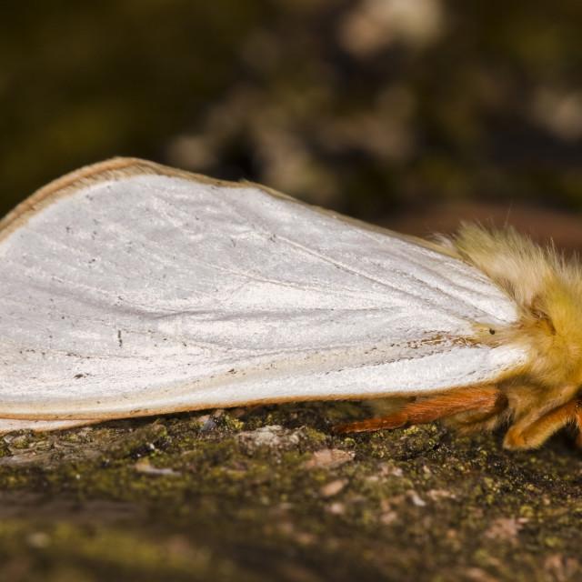 """Ghost Moth (Hepialus humuli)"" stock image"