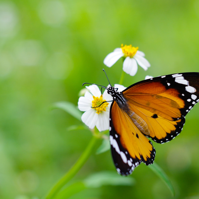 """Nice butterfly seeding wild daisy flower with nature bright back"" stock image"