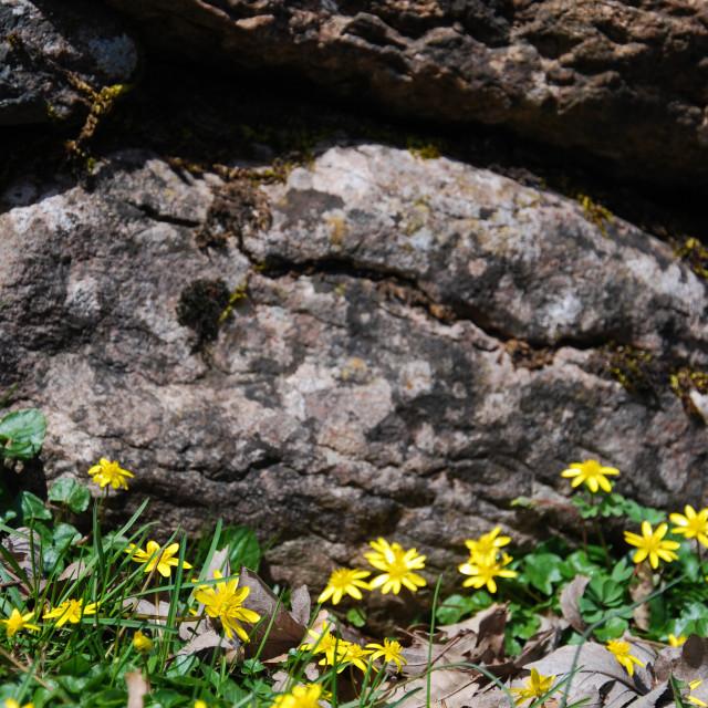 """Yellow spring flowers"" stock image"
