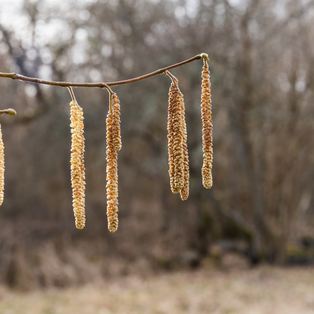 """Hanging hazel catkins"" stock image"