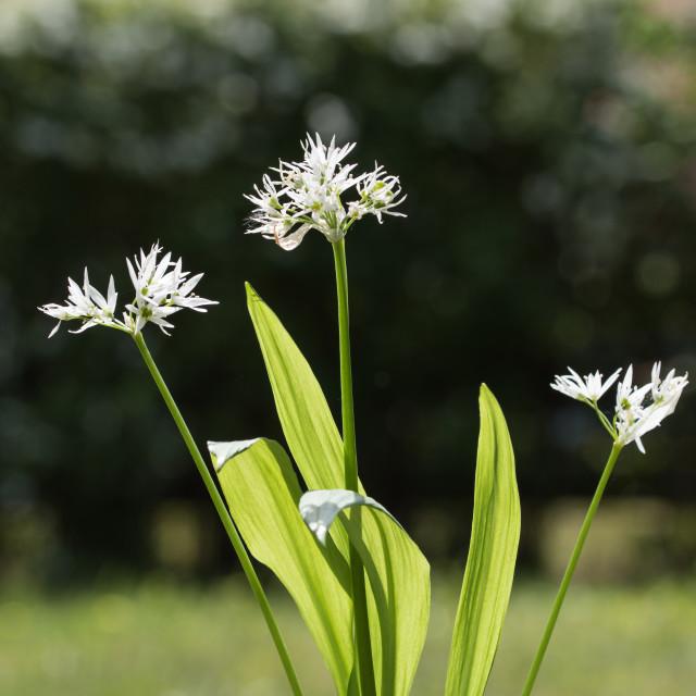 """Backlit wood garlic plant"" stock image"